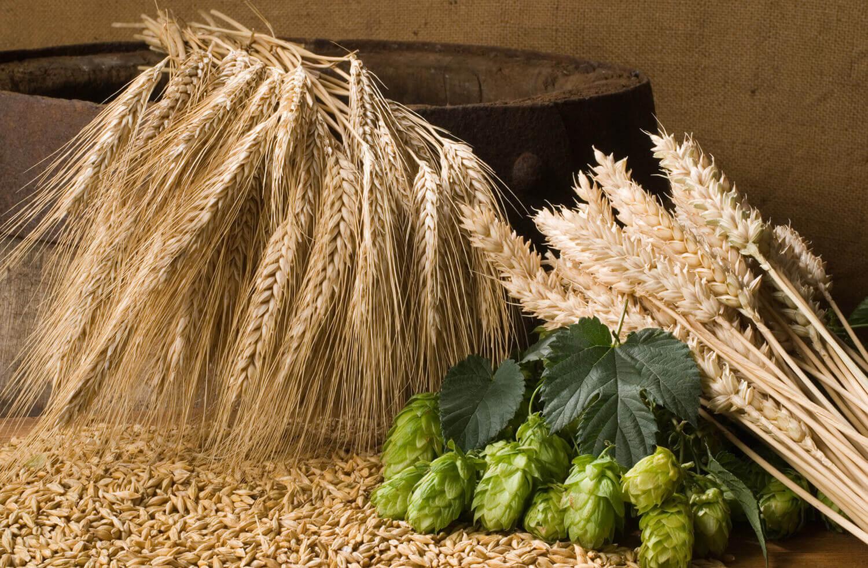 Самогон из пророщенной пшеницы в домашних условиях