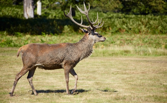 Red deer on a meadow