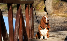 basset hound on wooden bridge